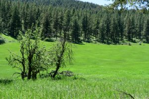 Old apples trees still grow at the edge of a mountain meadow, survivors from a time when people lived nearby.