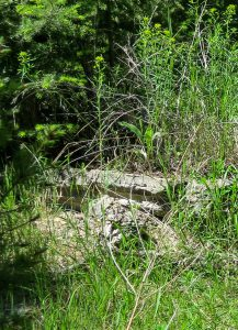 Broken concrete, part of an old foundation, pokes out from forest grasses and brush,