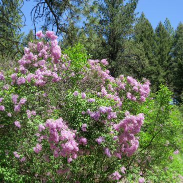 A lilac bush blooms surrounded by woods.